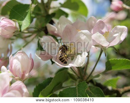 Bee And Flower Apple Tree