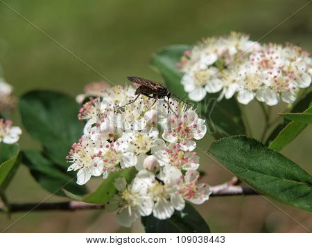 Insect On Blooming Chokeberry