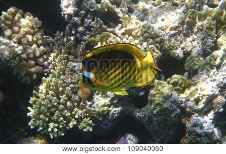 Single yellow fish-butterfly near coral reef in Red Sea