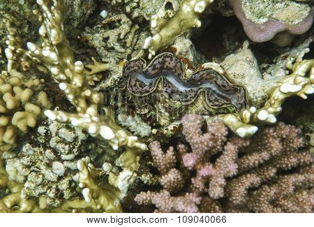Single giant clam in the Red Sea