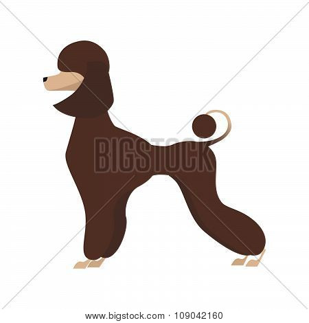 Isolated adorable chocolate young poodle