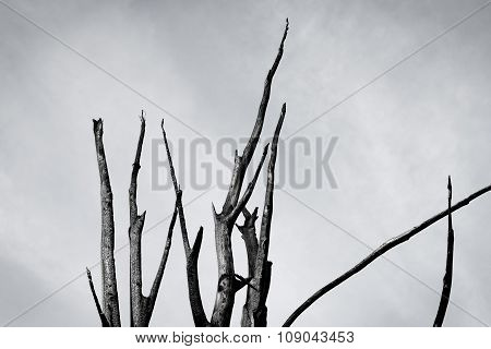 Burnt Tree Against The Sky