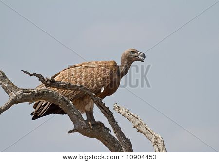 White-backed vulture on a perch