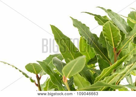 how to use fresh bay leaves