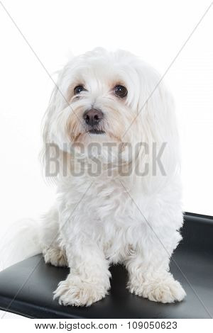 Maltese, 2 Years Old, Sitting In Front Of White Background