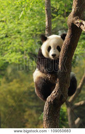 Silly-looking Cute Panda Cub