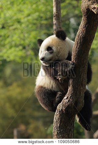 Panda Cub