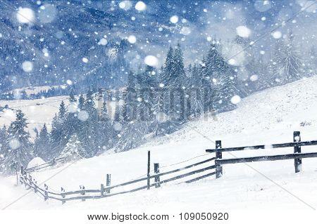 Fir Trees Covered By Snow Fir Trees Covered By Snow