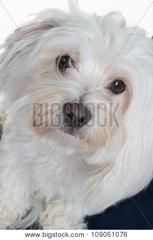 Close-up Of A Maltese (2 Years Old)