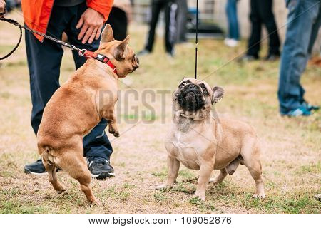 Two Funny French Bulldog Dog Playing In Outdoor