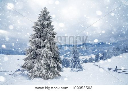 Fir Trees Covered By Snow