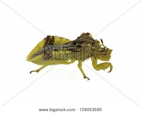 Isolated Ambush Bug