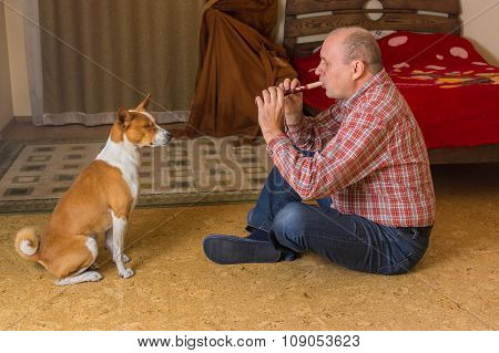 Cute basenji dog sitting in a bedroom with closed eye and listening the master playing with fife
