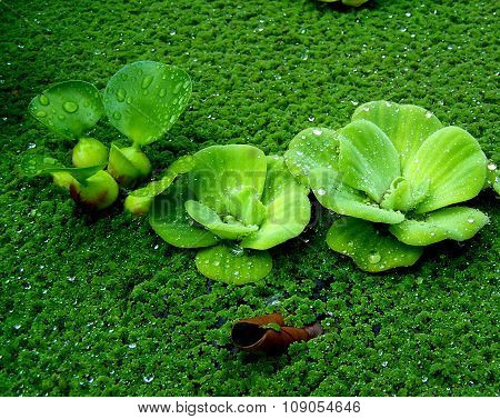 Rain on water hyacinth and water lettuce.