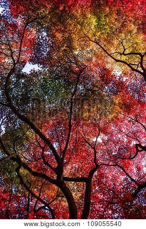 Maple Branch Foliage In Autumn In Kyoto, Japan