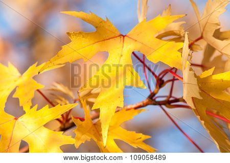 Golden Leaves Agains