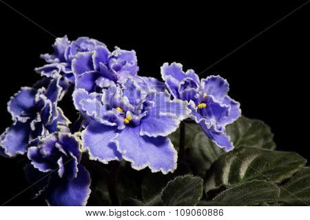 African violet (saintpolia) on the black background.