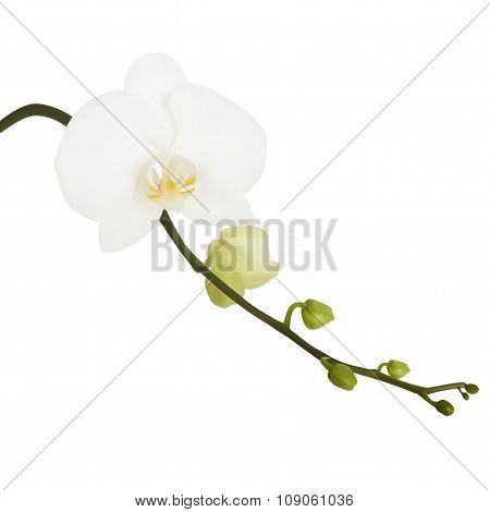 White Flower Of Orchid