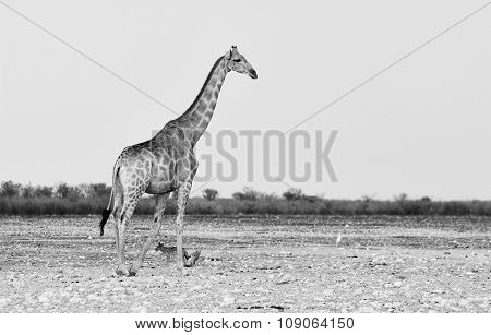 Giraffe Photographed In Black And White