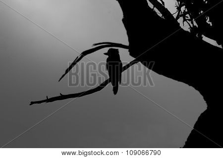 Silhouette Of Kookaburra In Grampians