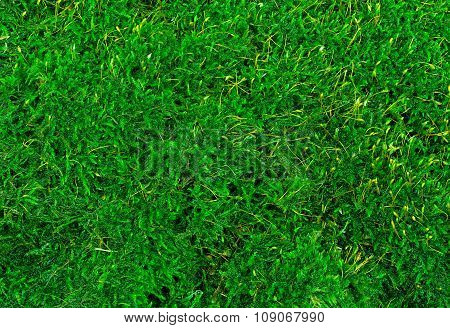 Beautiful Green Moss Texture Close-up , Background With Copy Space.