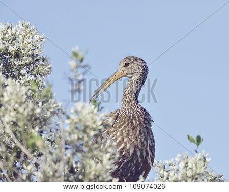 Limpkin Bird Perching Against Blue Sky