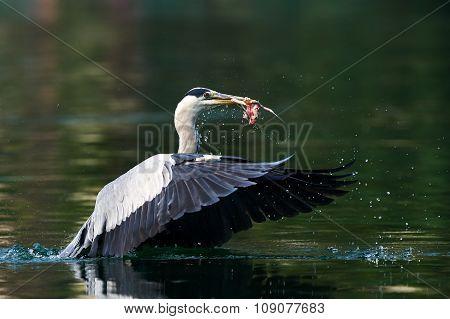 Grey Heron Takes Off
