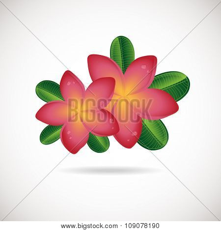 Pink plumeria  flower.  Vector illustration of  Two Frangipani flowers with green leaves on white backgrouns. Spa or beauty center logo.