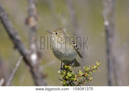 White-crested Elaenia In The Mountains