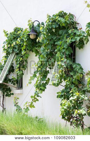 Wooden Window With Vine