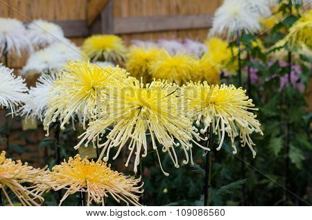 Japanese Chrysanthemums On Display At The Naritasan Shin Shoji Temple In Narita, Japan