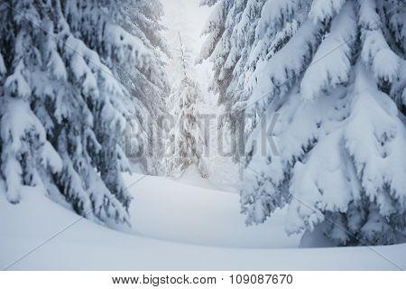 Winter landscape. Spruce forest in the snow. Carpathians, Ukraine, Europe