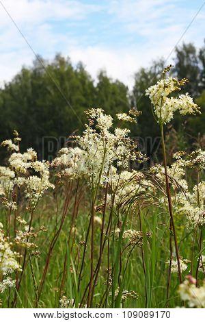 Wild herb meadowsweet meadowsweet shestilepestnoy or steppe (Filipendula hexapetala Gilib)