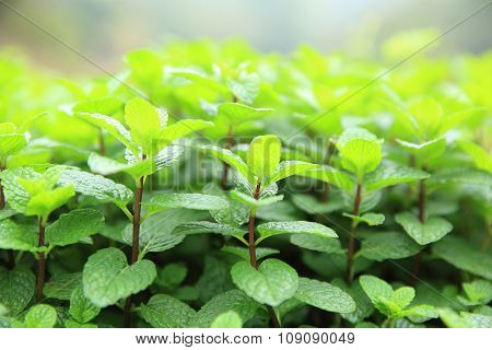 green mint plants in growth at garden