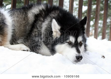 Drowsy Snow Dog