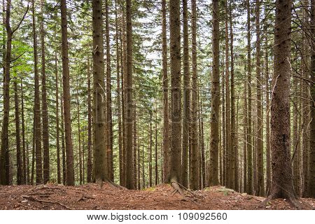 Plurality of vertical tree trunks in a forest