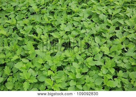 green  motherwort plants in growth at garden