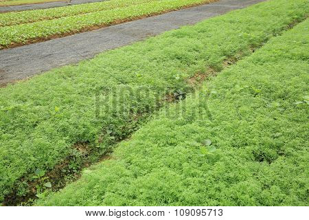 green carrot crops in growth at garden