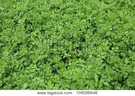 green watercress plants in growth at garden