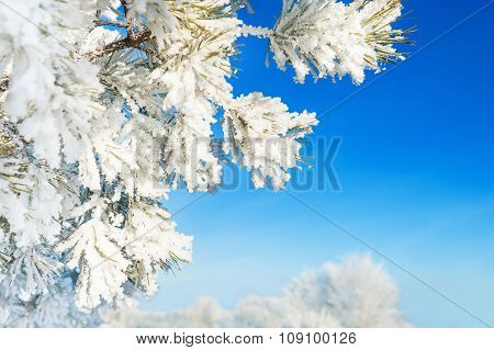 Pine Tree With Hoarfrost In Winter Forest Against The Blue Sky.