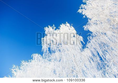 White Birch Trees With Hoarfrost Against The Blue Sky