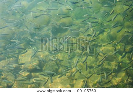 Small fishes in the sea