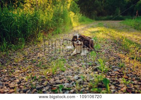 tricolor cavalier king charles spaniel dog enjoying summer and playing with stick on country walk