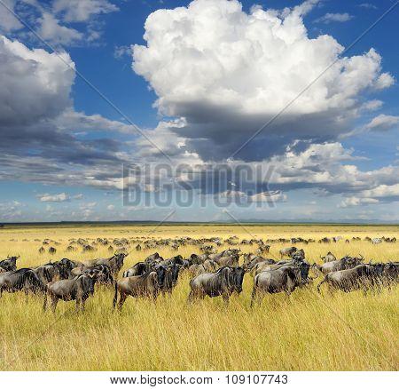 Wildebeest, National Park Of Kenya, Africa