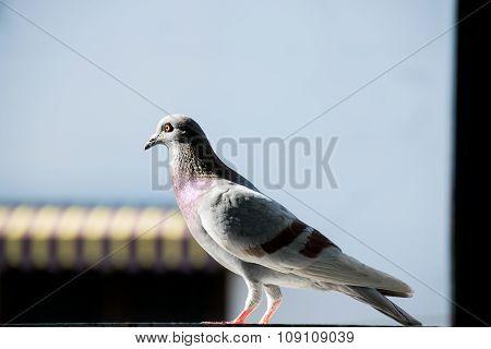 Single Bird - Rock pigeon or Rock dove
