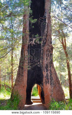 Giant Tingle Tree in Western Australia