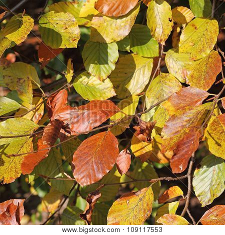 Autumnal Leaves Of A Beech