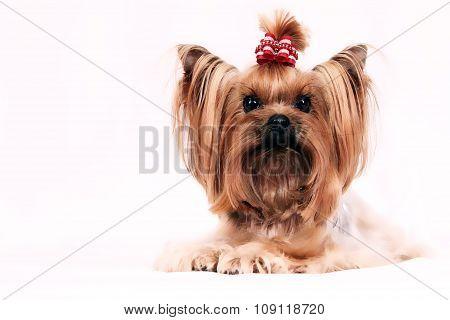 Small_Dog