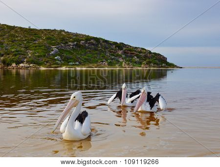 Three Pelicans: River Mouth Life at Dawn