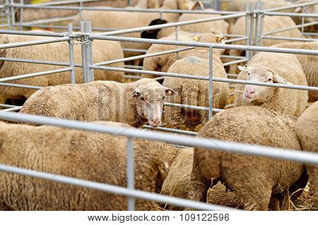 Inside A Sheep Farm